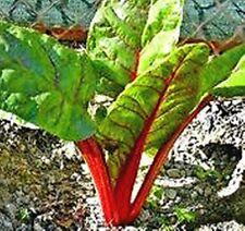 Acelga ROJA RHUBARB CHARD. 200 Semillas - Seeds