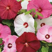 20 Luna Mixed Color Hibiscus Flowering Shrub Seeds