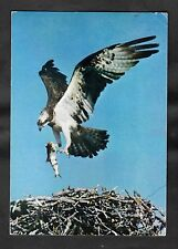 Posted 1969 View of an Osprey with a fish landing on a nest