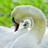"""Blank Card """"Swan and Cygnet"""" Large Square Size 6.25"""" x 6.25"""" WLII 2031"""