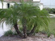 PHOENIX ROEBELENII,  Pygmy Date Palm exotic rare palms semi plant seed 50 seeds
