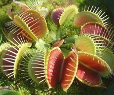 40pc Dionaea Muscipula Succulent Venus Flytrap Seeds Summer Garden Bonsai Seeds