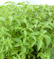 THAI HAIRY BASIL Seeds 3,000 SEEDS From Thailand.