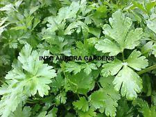 50 Flat leaf Italian Parsley Seeds Organic Herb