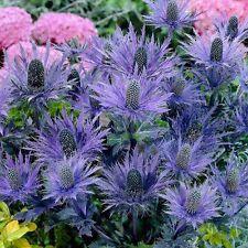 "Eryngium alpinum ""blue star"" (250 graines/seeds )"