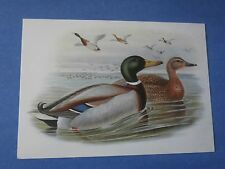 Mallard Duck (Anas Boschas) Birds of Britain John Gould Artist Postcard