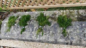 Great value Oxygenating Pond Plants Weighted Hornwort, Bonus grass plant