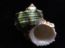 Sea Shells Turbo argyrostoma 86mm ID#3832C