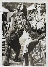 PHOTO DE PRESSE S.A.F.R.A + 1937 + Angleterre, Brighton + CHIEN : LEVRIER AFGHAN