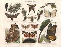 Schmetterlinge Kiefernschwärmer Baumweißling Neoptolemus Lithographie von 1895