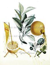 "SALVADOR DALI Botanical Art Poster or Canvas Print ""Pamplemousse - érotique"""