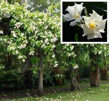 CLIMBING FRANGIPANI Chonemorpha fragrans flowers plant in 140mm pot