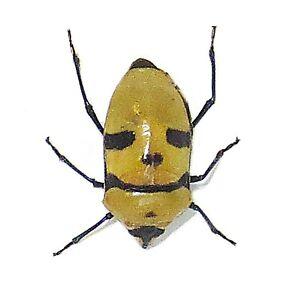 Death Head Bug  Eucorysses grandis Bee Insect taxidermy  BAEGR