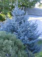 ABETO AZUL  Picea  PUNGENS GLAUCA  50 Semillas Seeds Samen Graines