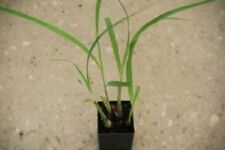 1 x  Lemongrass plant Cymbopogon citratus - perennial herb plant tube size