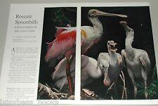 1962 magazine article  about ROSEATE SPOONBILLS, Gulf Coast wild birds