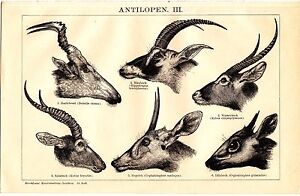 1894 Antelopes Antlers Antique Lithograph Print