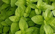 SPEARMINT BULK 1000 SEEDS * MOJITO*MINT JULEP*CONFECTIONERY* HERBAL TEA * AROMA*