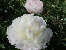 Peony/paeonia plant 'Shirley Temple' 2/3 eyes bare root Shipping Oct. 2017