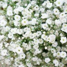 Flower Gypsophila Snowflake Baby's breath Appx 1200 seeds