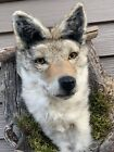 New Coyote Den Taxidermy Mount