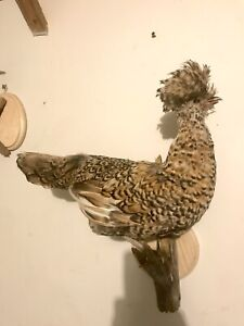 TAXIDERMY Polish Chicken GIFT DECOR CABIN ANIMAL POSSUM Mount Art Fox Rooster