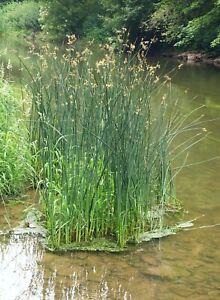 True Bulrush LIVE Water Plant Scirpus Lacustris Pond Feature Reed Aquatic Bog