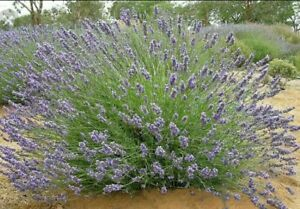 LAVENDER  French,50+seeds Compact heavy flowering Medicinal, Oil variety