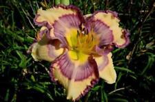 Daylily Seeds (Sunset Riviera x John Wayne) (12) Seeds