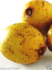 Thai Olive Spondias pinnata Anacardiaceae 5 Seeds ThailandMrk