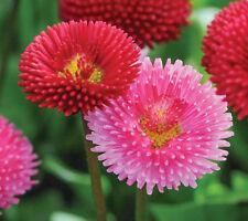 Bellis perennis Pomponette Mix | Bruisewort | 100_Seeds