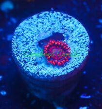 Cornbred Presents Wwc's Twizzlers Zoa - Frag - Live Coral
