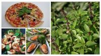 Thai Food Horapha Thai Sweet Basil Ocimum Basilicum Herb 750 Seeds - Easy Grown