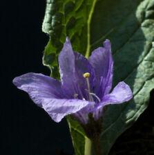 Alraune - Mandragora officinarum 10 Samen