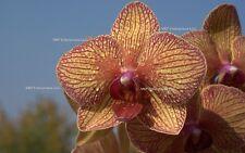20 Yellow W/ Purple Stripe Phalaenopsis Moth Orchid Seed Organically Grown