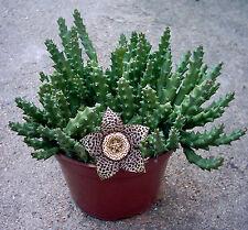 Stapelia variegate | Variegated Starfish Succulent | 12 SEEDS