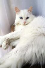 Turkish Angora Cat I Would Like Exactly Two Belly Rubs : 150 Page Lined.