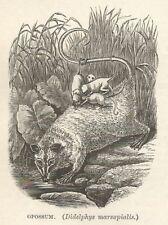 C2025 Didelphis marsupialis - Xilografia d'epoca - 1920 old engraving