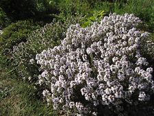 Echter Thymian 1000 Samen    aus nachhaltigem Anbau    Thymus Vulgaris