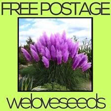 LOCAL AUSSIE STOCK - Rare Purple Pampas, Ornamental Grass Seeds ~10x FREE SHIP