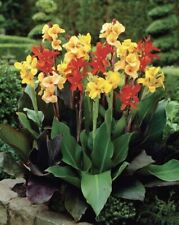 3 Bulbs MIXED CANNA Mix Colors Red Yellow