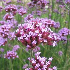 Verbena Bonariensis appx 500 seeds Argentinian vervain perennial