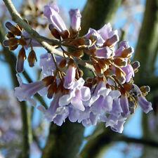 Paulownia tomentosa, imperialis Kiri Foxglove Royal Imperial Tree, 100+ seeds