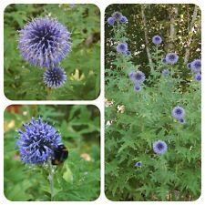 Kugeldistel Echinops ruthenicus blaue Blüten Bienenweide Hummelbar