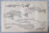1868 Aufdruck Skelette Comparative Viewv Fische Barsch Stör Karpfen Common Aal