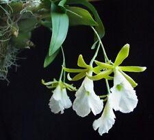 Orchid Encyclia mariae, nice species, neer flowering (11 L)