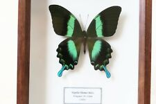REAL GREEN INDONESIAN SWALLOWTAIL BUTTERFLY PAPILIO BLUMEI BEAUTIFUL & FRAMED