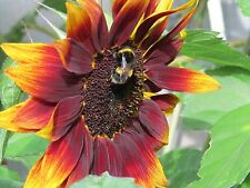 Sunflower 'Evening Sun' x100 Seeds -- Produce Beautiful Mutiple Flower Head