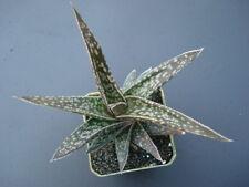 Succulent Aloe descoingsii v. gartesii caespitosa