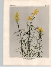 1934 Wildflower Book Plate Butter & Eggs;Ramstead   White & Moth Mullen